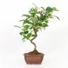 Malus evereste - Apple tree - 39 cm
