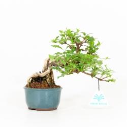 Premna japonica - 17 cm