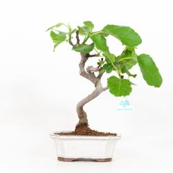 Ficus carica - Fico - 33 cm