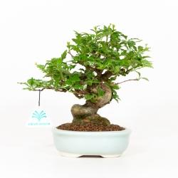 Premna japonica - 22 cm