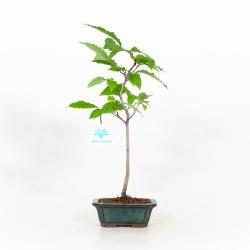 Fagus crenata - Faggio - 33 cm