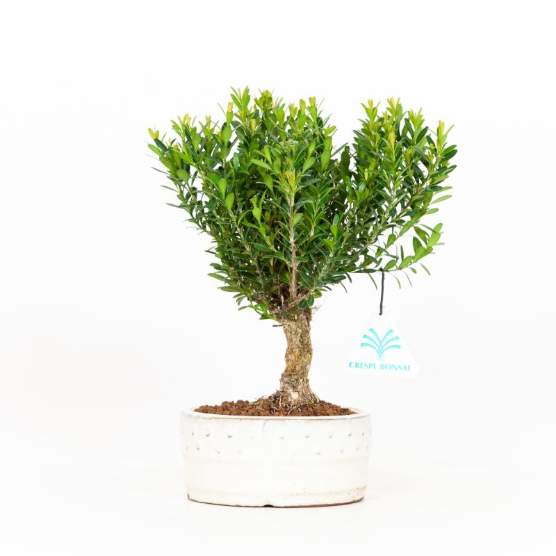 Buxus harlandii - Boxwood - 23 cm