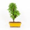 Metasequoia - 48 cm