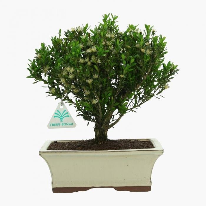 Buxus harlandii - Bosso - 27 cm