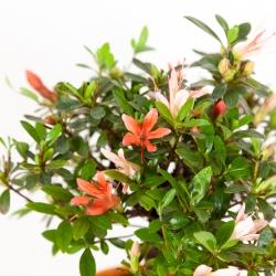 Rhododendron Indicum - Azalea - 31 cm