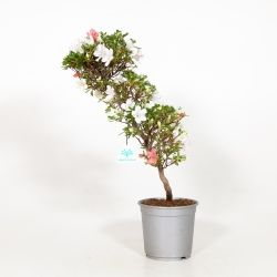 Rhododendron Indicum - Azalée - 48 cm