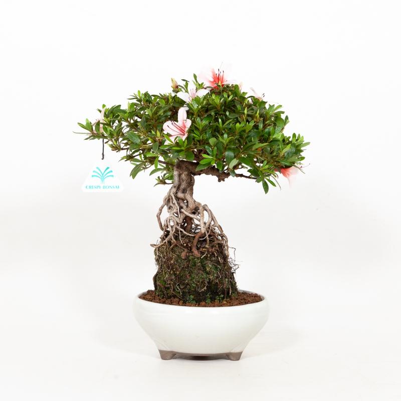 Rhododendron Indicum Hi-no-Maru - Azalea - 30 cm