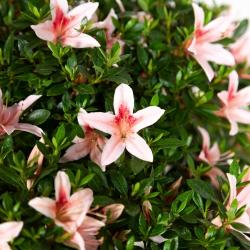 Rhododendron Indicum - Azalea - 48 cm