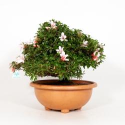 Rhododendron Indicum Hi-no-Maru - Azalea - 43 cm