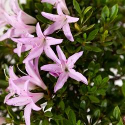 Rhododendron Indicum - Azalea - 40 cm