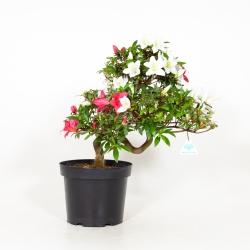 Rhododendron Indicum Chihiro - Azalée - 50 cm