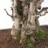 Ginkgo biloba - 70 cm