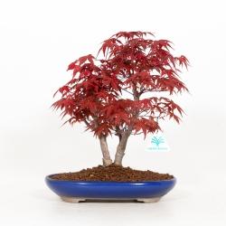 Acer palmatum deshojo - 30 cm