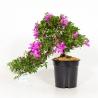 Rhododendron Indicum Kazuka - Azalea - 45 cm