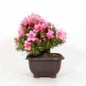 Rhododendron Indicum Shinzan - Azalea - 37 cm