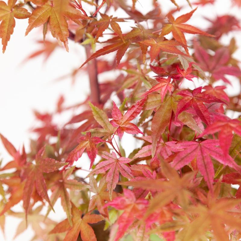 Acer palmatum deshojo - maple - 34 cm