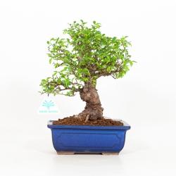 Ulmus parviflora - Olmo - 27 cm