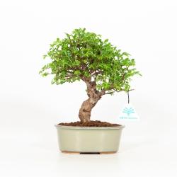 Ulmus parviflora - Olmo - 24 cm