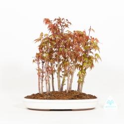 Acer palmatum - Acero - 30 cm