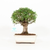 Ulmus parviflora - Elm - 24 cm