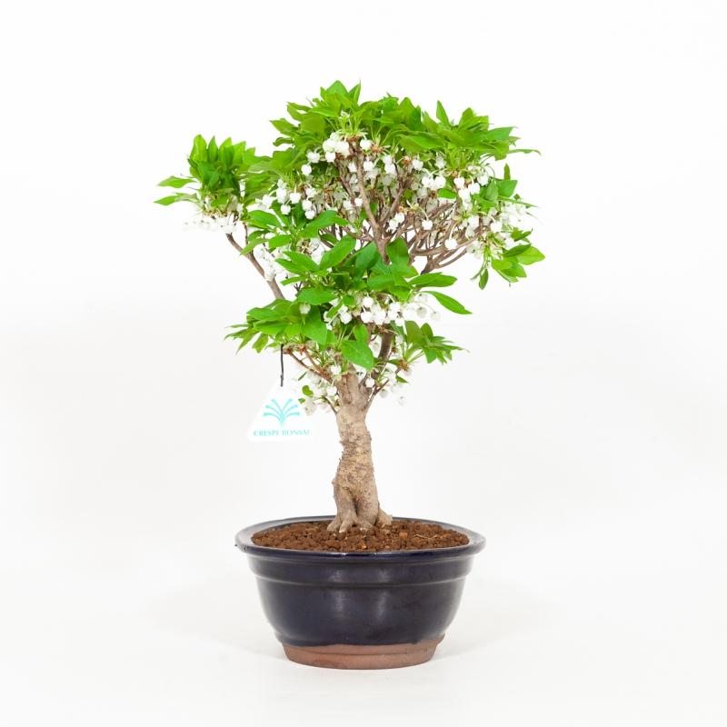 Enkianthus perulatus - 35 cm