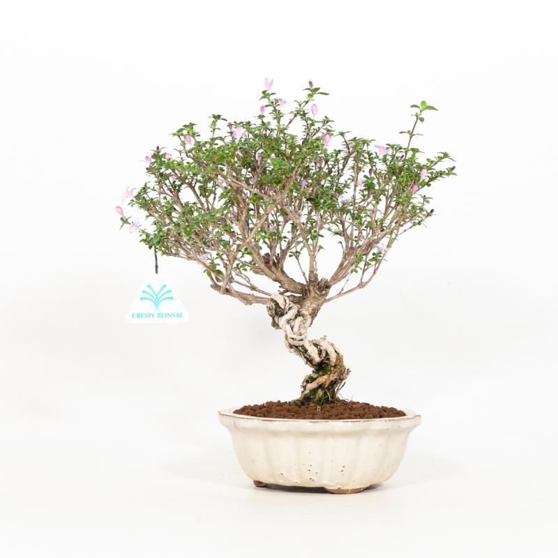 Serissa japonica - 28 cm