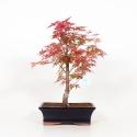 Acer palmatum deshojo - Maple - 39 cm