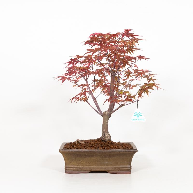 Acer palmatum deshojo - Maple - 41 cm