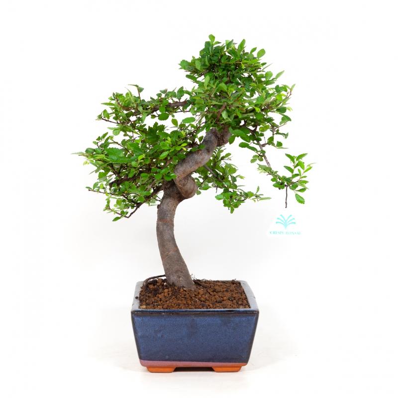 Zelkova nire - Olmo cinese - 40 cm