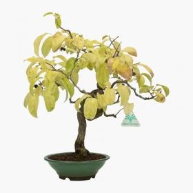 Itea japonica - 40 cm