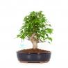 Acer buergerianum - Maple - 29 cm