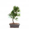Podocarpus macrophylla - 36 cm