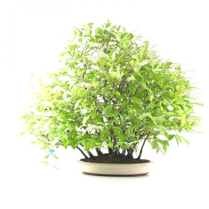 Itea japonica - 56 cm