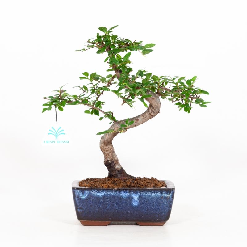 Zelkova nire - Orme - 28 cm