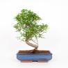 Zanthoxylum - Pepper tree - 50 cm