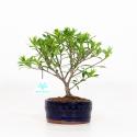 Gardenia - 22 cm