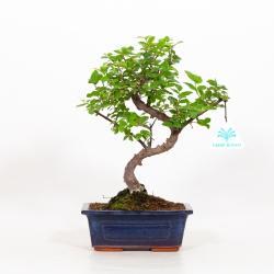Sagerethia theezans - Sageretia - 27 cm