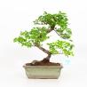 Sagerethia theezans - Sageretia - 29 cm