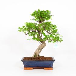 Ligustrum - 50 cm