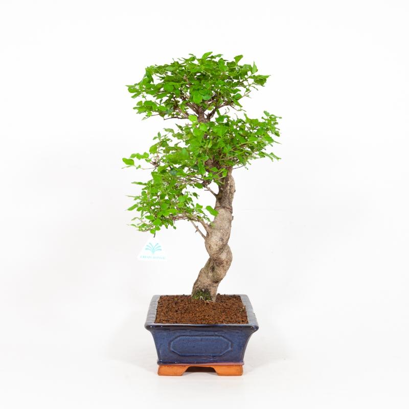 Ligustrum - Privet - 50 cm