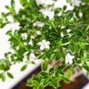 Serissa foetida variegata - Neige de juin - 25 cm