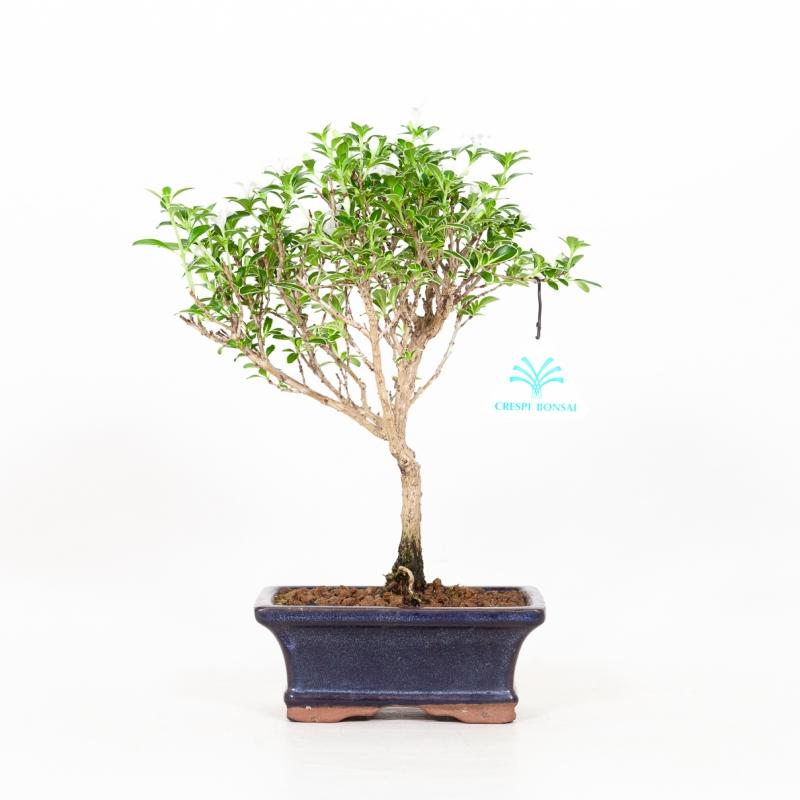 Serissa foetida variegata - Snow Rose - 25 cm
