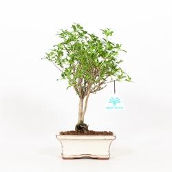 Serissa foetida variegata - Serissa - 25 cm