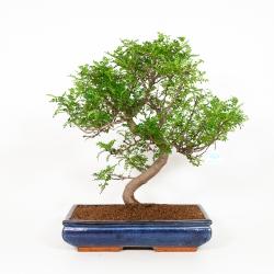 Zanthoxylum - Pepper tree - 56 cm