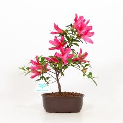 Rhododendron indicum Benikage - Azalea - 28 cm