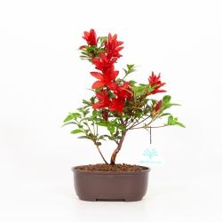Rhododendron indicum Kokuko-no-Tsuki - Azalée - 27 cm