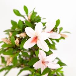 Rhododendron indicum Hi-no-Maru - Azalea - 22 cm