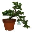 Juniperus chinensis - Genévrier de Chine - 29 cm