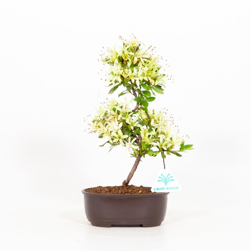 Rhododendron indicum Senbazuru - Azalea - 27 cm