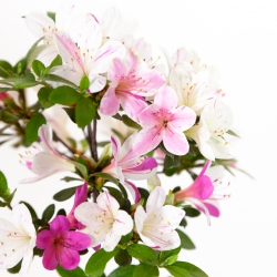Rhododendron indicum Magohime - Azalée - 37 cm
